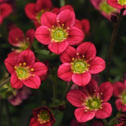 Saxifraga Rocco Red