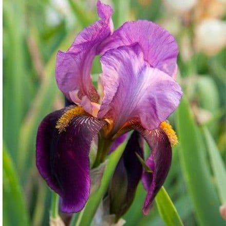 Iris Bearded Benton Storrington