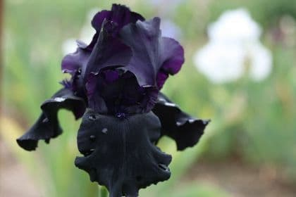 Iris Bearded Black Tie Affair