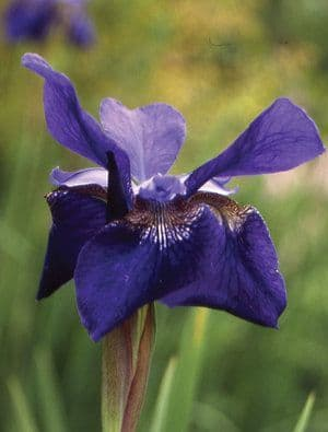 Iris sibirica Ceasers Brother
