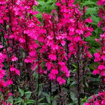 Lobelia Starship Deep Rose