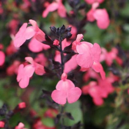 Salvia Mirage Salmon