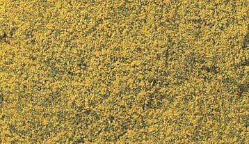 WF176 Yellow Flowering Foliage